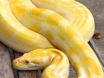 Albino-Pythonschlange Stockbild