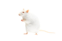 Albino rat. Isolated on white background Stock Image