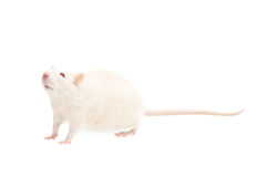 Albino rat. Isolated on white background Stock Photography