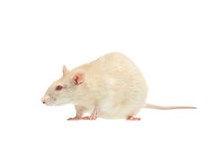 Albino rat Stock Photos