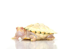 Albino red-eared slider Royalty Free Stock Images