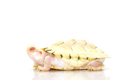 Albino red-eared slider Royalty Free Stock Image