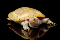 Albino red-eared slider Royalty Free Stock Photography