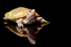 Albino red-eared slider Royalty Free Stock Photo