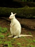 White Red-necked wallaby Macropus rufogriseus royalty free stock image