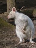 Albino red-necked wallaby royalty free stock images
