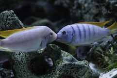 Albino Redfin vs Ice Blue Zebra Cichlid Fight Royalty Free Stock Photo