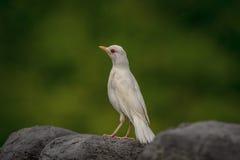 Albino Robin i kronapunkt royaltyfria bilder