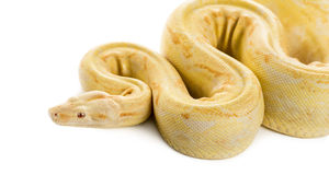 Albino royal python. In front of a white background Royalty Free Stock Images