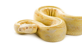 Albino royal python. In front of a white background royalty free stock photo