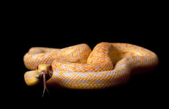 Albino San Diego Gopher Snake Royalty Free Stock Images