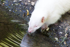Albino skunk drinking Stock Images
