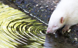 Albino skunk drinking Royalty Free Stock Images