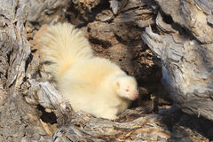 Albino skunk with pink eyes. A pretty albino skunk searching for food in a log stock photography