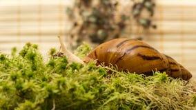 Albino snail Stock Photography