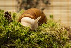 Albino snail. Snail-albino, Achatina Achatina, White tiger, in sphagnum moss. Shallow depth of field, focus on the eye of a snail Royalty Free Stock Images