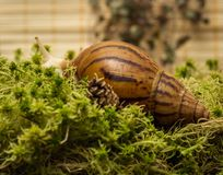 Albino snail. Snail-albino, Achatina Achatina, White tiger, in sphagnum moss. Shallow depth of field, focus on the eye of a snail Royalty Free Stock Photos