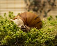 Albino snail. Snail-albino, Achatina Achatina, White tiger, in sphagnum moss. Shallow depth of field, focus on the eye of a snail Stock Photography