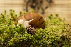 Albino snail Royalty Free Stock Photo