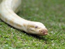 Albino snake. In close up Stock Photos