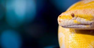 Albino Snake. Burmese Python - reptiles and amphibians stock image