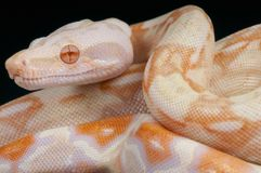 Albino snake / Boa constrictor Royalty Free Stock Photography