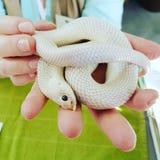 Albino snake Royalty Free Stock Image