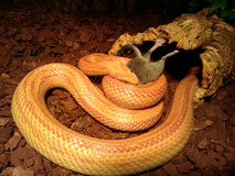 Albino Snake eat a mouse Royalty Free Stock Photo