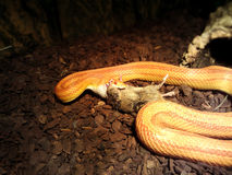 Albino Snake essen eine Maus Stockfotografie
