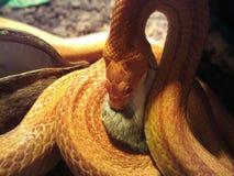 Albino Snake essen eine Maus Stockfotos