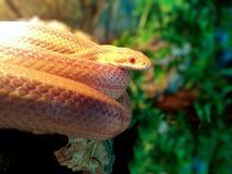 Albino Snake-/Gras-Schlange - Ringelnatter Lizenzfreie Stockbilder