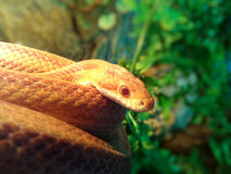 Albino Snake-/Gras-Schlange - Ringelnatter Stockfotografie