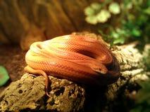 Albino Snake-/Gras-Schlange - Ringelnatter Lizenzfreie Stockfotografie