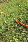 Albino Snake-/Gras-Schlange - Ringelnatter Lizenzfreies Stockfoto
