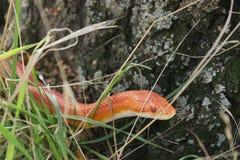 Albino Snake-/Gras-Schlange - Ringelnatter Stockfotos