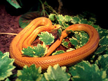 Albino Snake / Grass Snake - Ringelnatter Stock Photo