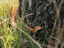 Albino Snake / Grass Snake - Ringelnatter Stock Photography
