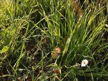 Albino Snake / Grass Snake - Ringelnatter Royalty Free Stock Image