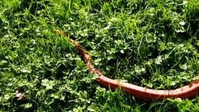 An Albino Snake - Grass Snake - Ringelnatter on grass stock video footage