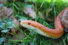 Albino Snake - serpente di erba - Ringelnatter su erba Immagini Stock Libere da Diritti