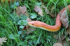 Albino Snake - serpiente de hierba - Ringelnatter en hierba fotografía de archivo libre de regalías