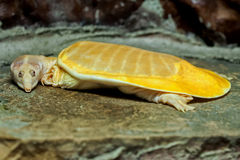 Albino snapping turtle. Stock Photos