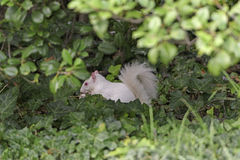 Albino Squirrel in the Bushes Stock Photo