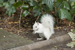 Albino squirrel. With red eyes and bushy tail Royalty Free Stock Image