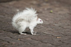 Albino squirrel. With red eyes and bushy tail Royalty Free Stock Photography