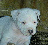 Albino stafford puppy. Very nice albino stafford puppy with blue eyes Royalty Free Stock Photography