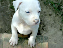 Albino stafford puppy. Very nice albino stafford puppy with blue eyes Royalty Free Stock Images