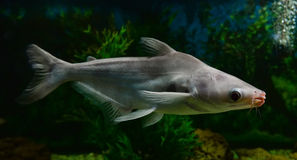 Albino striped catfish Royalty Free Stock Image