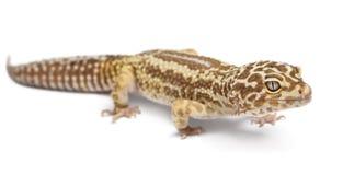 Albino Striped Leopard gecko, Eublepharis Stock Image