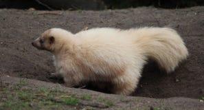 Albino Striped skunk stock photo